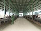 Đó là dự án nuôi bò giống, bò thịt tại Hà Tĩnh là một trong những dự án nông nghiệp có quy mô lớn nhất miền Bắc. (Ảnh: Internet)