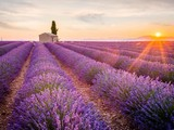 Cánh đồng hoa oải hương đẹp lộng lẫy ở Provence, Pháp