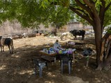 Một bệnh nhân COVID-19 được điều trị ngay dưới gốc cây, gần những chú bò (Ảnh: Reuters)