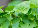 Rau má là loại rau sống ở vùng đất ngập nước, có vị hơi đắng, tính mát, thường thường được dùng trong bữa ăn hàng ngày.
