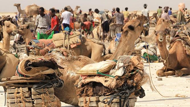 Cuộc sống của người dân vùng Danakil bao đời gắn bó với những chú lạc đà cần mẫn.