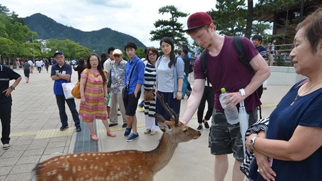 Hươu trên đảo Miyajima rất thân thiện với du khách