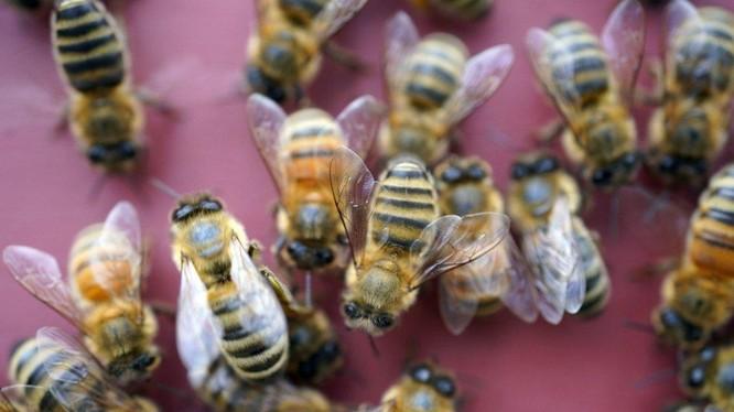 Có thể mất hàng giờ hoặc vài ngày để có kết quả xét nghiệm Covid-19, nhưng ong có thể cho kết quả ngay lập tức. Ảnh: AP