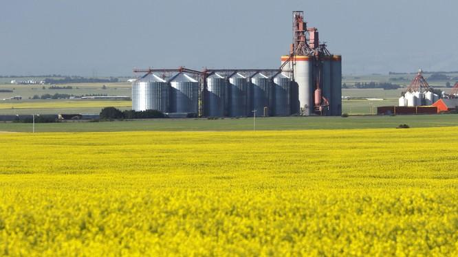 Những nông dân trồng cải dầu, ngành nông nghiệp và kinh tế Canada sẽ bị thiệt hại nghiêm trọng trước quyết định cấm nhập hạt cải dầu của hải quan Trung Quốc.