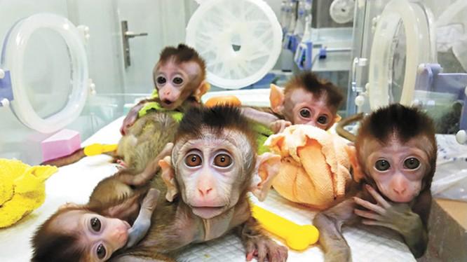 5 con khỉ đã được các nhà khoa học Trung Quốc cấy gene người vào não.