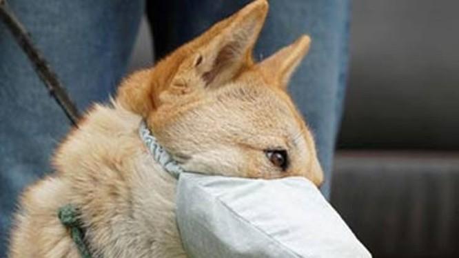 Thông tin tìm thấy nCoV trong khoang miệng và mũi chó nuôi trong nhà bệnh nhân COVID-19 ở Hồng Kông đang gây xôn xao dư luận. (Ảnh: Guancha)