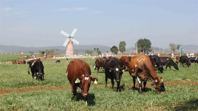 Trang trại bò sữa Vinamilk tại Đà Lạt. Ảnh: Phạm Kha
