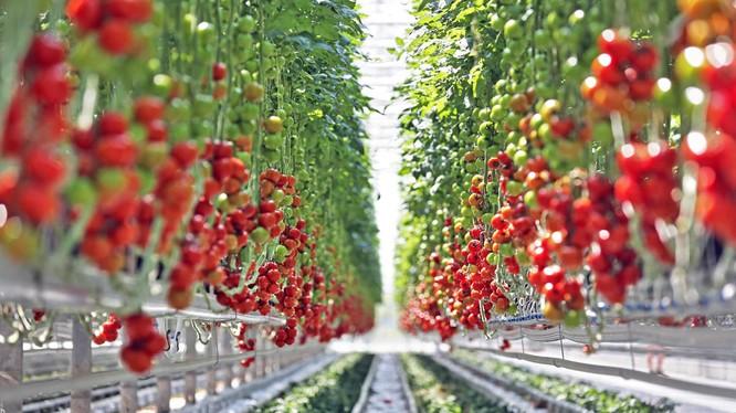 Tại Lâm Đồng năng suất cà chua trung bình hiện nay là 45 tấn/ha, khi ứng dụng CNTT vào một số khâu như như tưới nhỏ giọt, giá thể… năng suất đã lên tới 200 tấn.