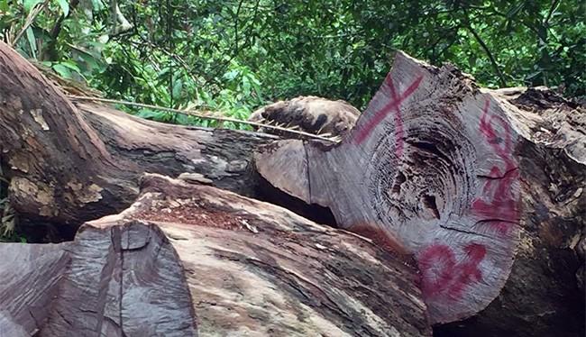 Đã có 16 cây gỗ đứng đường kính lên đến hơn 1,4m bị chặt hạ tại khu du lịch Nhất Lâm Thủy Trang Trà, thuộc rừng Sơn Trà