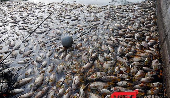 Cá chết nổi trắng hồ Công viên 29/3 Đà Nẵng
