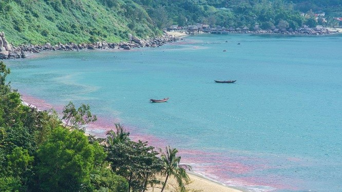 """""""Vệt nước đỏ"""" xuất hiện trên vùng biển bán đảo Sơn Trà và vịnh Đà Nẵng là ấu trùng ruốc theo gió trôi dạt vào bờ"""