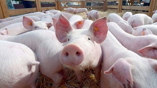 Đã phát hiện lợn nhiễm virus tả lợn châu Phi tại huyện Hòa Vang, TP Đà Nẵng