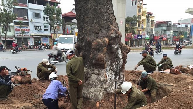 Nhiều cây to đẹp, vững chãi nhưng vẫn bị chặt hạ không thương tiếc