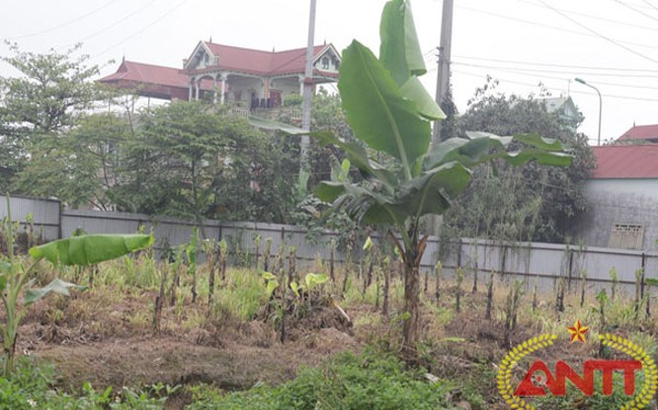 """""""Đất dự án để trống, trồng chuối cho đỡ phí"""""""