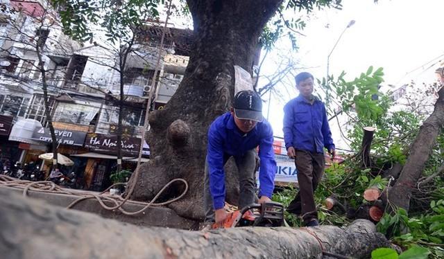Hà Nội sẽ chặt hạ những cây có nguy cơ gãy đổ trong mùa mưa bão