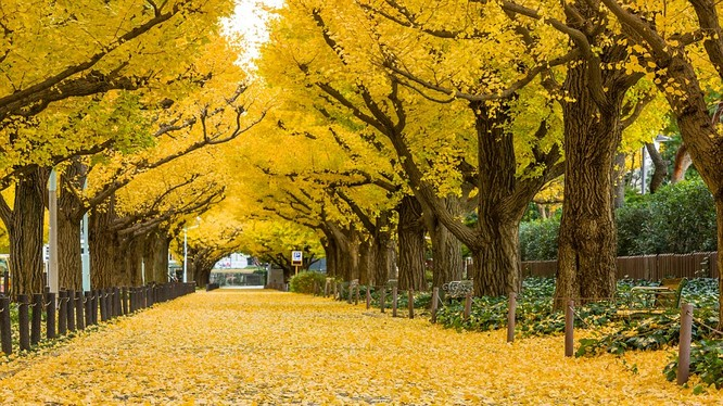 Đường cây ở công viên Meiji-Jingu Gaien, Tokyo, Nhật Bản