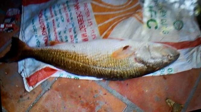 300 triệu đồng vẫn không mua được cá sủ vàng quý hiếm