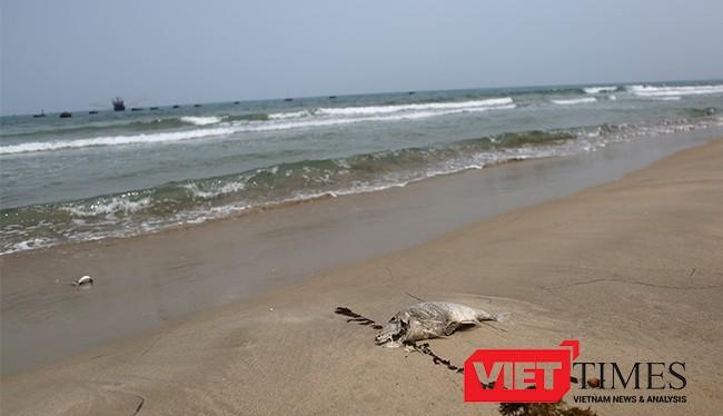 Đã xuất hiện cá chết dạt vào bờ biển Đà Nẵng