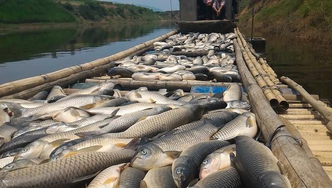 3 ngày qua, nguồn nước sông Bưởi bị ô nhiễm nặng khiến rất nhiều loài thủy sản chết bất thường. Sáng 7/5, nhiều tấn cá lồng của người dân các xã Thành Mỹ, Thành Vinh, Thạch Cẩm... (Thạch Thành, Thanh Hóa) tiếp tục chết.