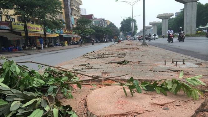 Một gốc cây xà cừ đường kính lớn bị chặt trên đường Nguyễn Trãi (Q.Thanh Xuân, Hà Nội). Theo đơn giá của UBND TP Hà Nội, đã phải chi gần 36 triệu đồng để chặt hạ và đào gốc cây này đi - Ảnh: Lâm Hoài