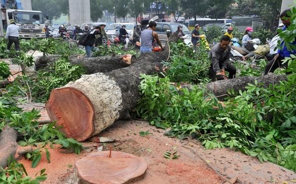 """Kết luận Thanh tra Hà Nội cho rằng """"việc chặt cây đường Nguyễn Trãi là cần thiết"""""""