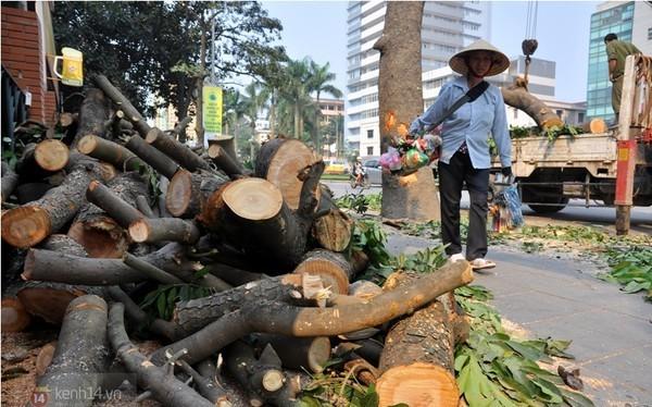 Hà Nội bàn phương án thay thế cây mỡ trên đường Nguyễn Chí Thanh