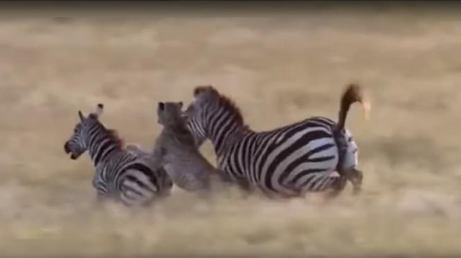 Báo châu Phi tấn công ngựa vằn - ảnh minh họa video