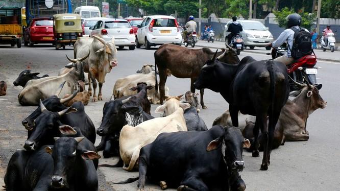 Ấn Độ sẽ gắn thẻ cho 88 triệu trâu bò để theo dõi mọi hoạt động như tiêm chủng, sinh sản... của chúng