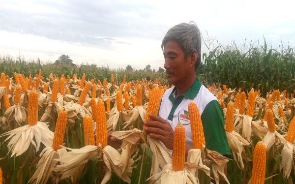 Trong khi các mặt hàng nông nghiệp chính của Việt Nam có xu hướng giảm giá thì giá bắp (ngô) lại ổn định. Theo WB, giá bắp trong những năm tới ở mức 169 đô la Mỹ/tấn. Ảnh: NH