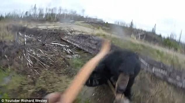 Hình ảnh con gấu đen chồm lên tấn công Richard Wesley