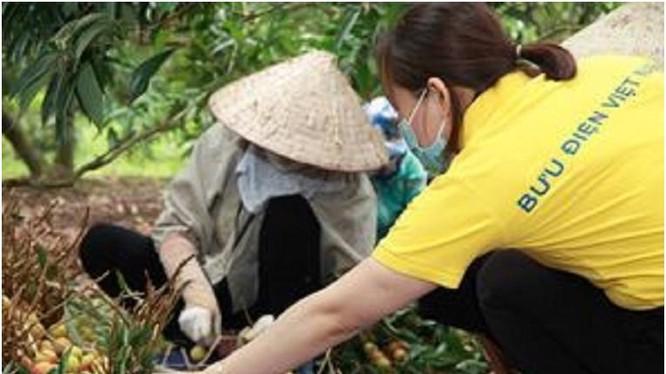 Nhân viên bưu điên giúp người dân tiêu thụ vải thiều. Ảnh Vietnam Post