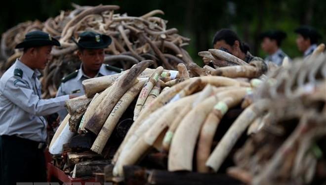Lực lượng chức năng thiêu hủy ngà voi thu giữ trong chiến dịch truy quét tội phạm buôn lậu ngà voi ở Nay Pyi Taw, Myanmar ngày 4/10/2018. (Ảnh: THX/TTXVN)