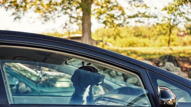 Vật nuôi không nên cho lên xe khi trời nắng nóng