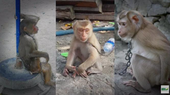 Khỉ đang bị săn bắt, buôn bán và nuôi nhốt tràn lan