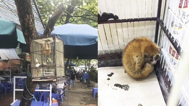 1 cá thể culi được giải cứu khi bị nhốt tại một quán bia ở Hà Nội (ảnh: ENV)