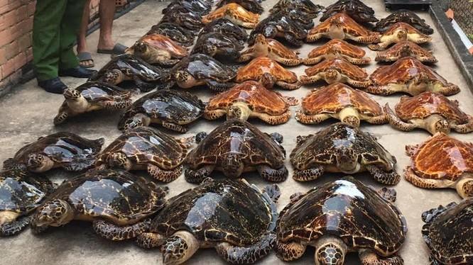 Các tiêu bản rùa biển bị buôn lậu bất hợp pháp được phát hiện tại Tây Ninh