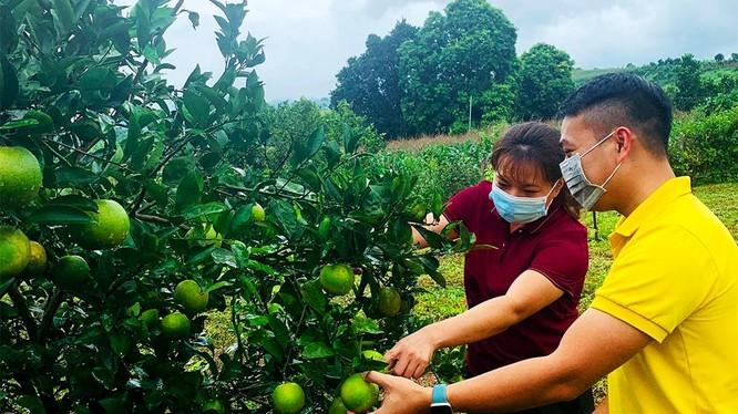 Bưu điện tỉnh Hòa Bình đồng hành cùng các hộ sản xuất nông nghiệp tiêu thụ cam Cao Phong (ảnh: VNPost)