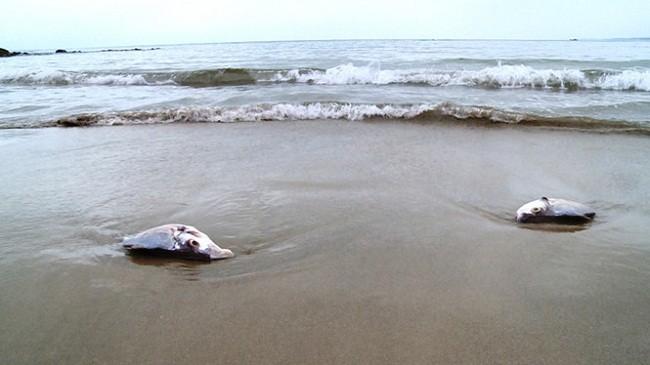 Nhiều mẫu cá tại Hà Tĩnh nhiễm chất độc xyanua, phenol.