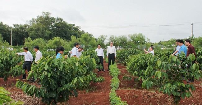Tây Nguyên dự định tái canh, ghép cải tạo 19.000 ha cà phê trong mùa mưa năm nay - (Ảnh minh họa)