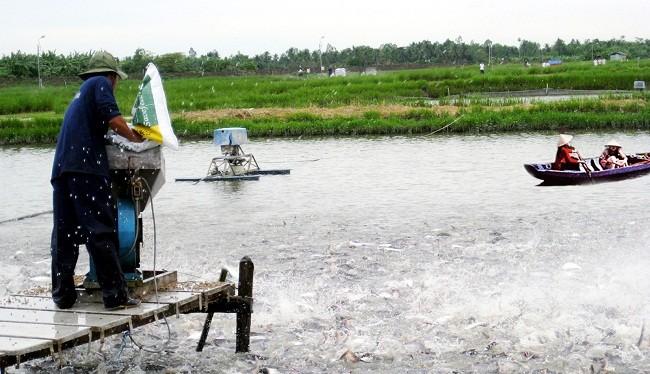 """Tin vào thương lái Trung Quốc, nhiều người nuôi cá tra đang """"ngồi trên đống lửa"""" - (Ảnh minh họa)"""