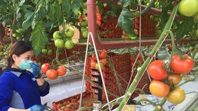 Thu hoạch cà chua cho hệ thống siêu thị Coles. (Nguồn ABC)