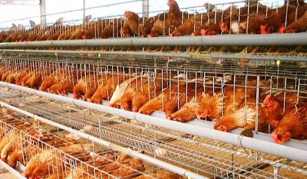 Ngoài việc thiếu vốn, ngành chăn nuôi trên địa bàn thành phố Hà Nội còn thiếu kỹ năng phân tích thị trường- (Ảnh minh họa).