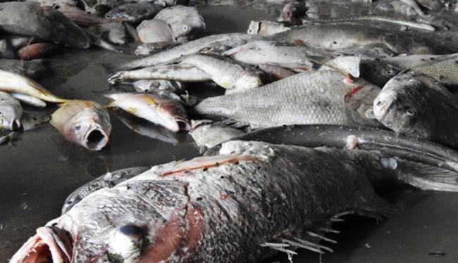 Cá chết 4 tỉnh miền Trung do Formosa gây ra.
