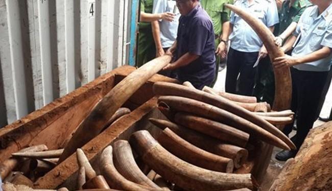 Số ngà voi tang vật trong một lần bắt giữ