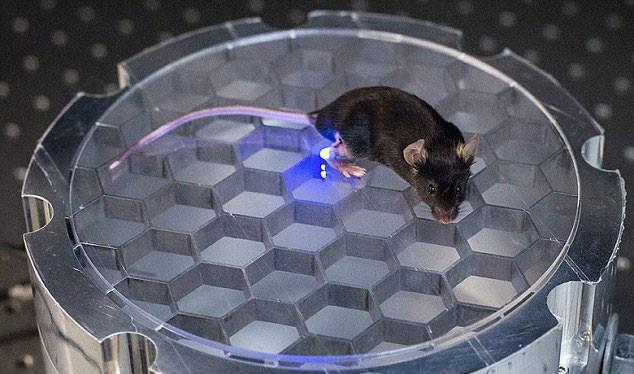 Một con chuột được áp dụng kỹ thuật khống chế mới- (ẢNH: IEEE SPECTRUM).