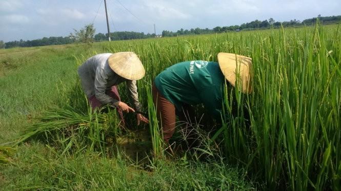 Nông dân khi phải tự mày mò cách cải thiện chất lượng lúa