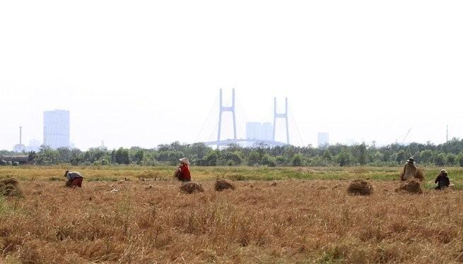 Một cánh đồng lúa ở quận 2 trở thành điểm hẹn cho những người nghèo miền Tây dịp cuối năm lên gặt lúa thuê kiếm tiền sắm tết