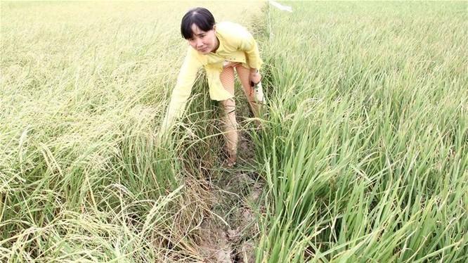 Diện tích lúa bị thiệt hại ở nhiều địa phương tăng lên rất nhanh. Trong ảnh là một ruộng lúa bị ảnh hưởng bởi hạn, mặn ở ĐBSCL. Ảnh: Trung Chánh