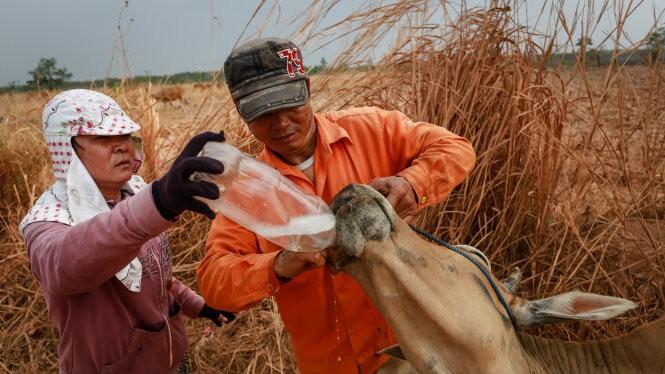 Vợ chồng ông Cao Xuân Thành và bà Lê Thị Cúc Phương (thôn Đoàn, xã Ia Lốp) cho con bò bị say nắng uống nước ngọt - Ảnh: Tiến Thành