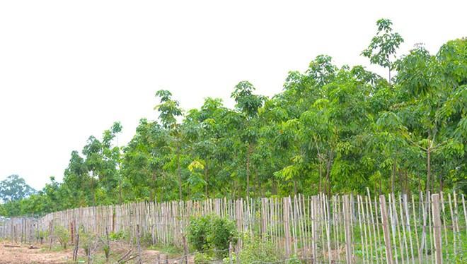 Hoàng Anh Gia Lai có rất nhiều tài sản là rừng trồng cao su ở các khu vực trọng yếu (ảnh: báo Gia Lai)